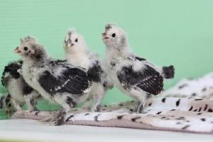 Павловские серебро цыплята _22